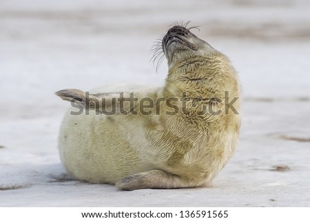 A young Grey Seal pup waiting for its' mother to return from sea - stock photo