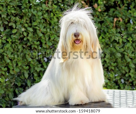 A young, happy, beautiful white fawn Bearded Collie sitting. Beardie dogs were used for herding, distinctive for their long straight coat. - stock photo