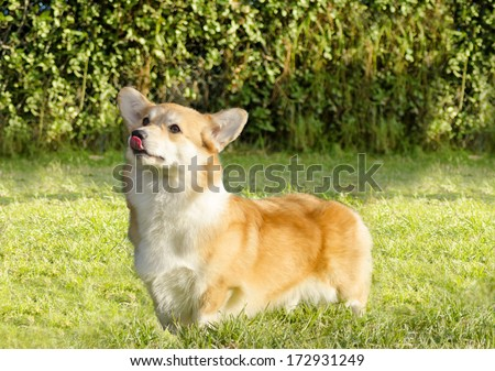 A young, healthy, beautiful, red sable and white Welsh Corgi Pembroke dog standing on the grass sticking its tongue out.The Welsh Corgi has short legs,long body, big erect ears and is a herding breed. - stock photo