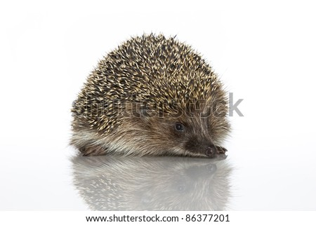 A young hedgehog, about a year. In  front of white background