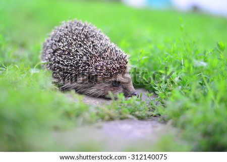 A Young hedgehog in a natural habitat - stock photo