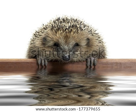 a young hedgehog looking over a wooden panel on reflective water surface - stock photo