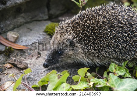 A young hedgehog searching for food around a garden in England - stock photo