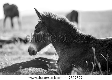 A young horse rests on the grass, free in the wild. Black and white photo made in a mountain range in central Bulgaria. - stock photo