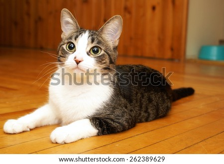 A young house cat rests near her food bowl after eating a hearty meal for the day. - stock photo