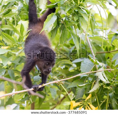 A young howler monkey hanging upside down, foraging for food