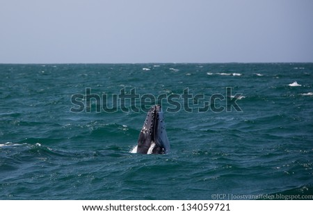 A young humpback whale calf plays in the green water of the Indian ocean close to its mother - stock photo