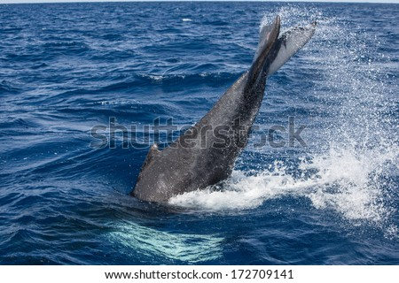A young Humpback whale (Megaptera novaeangliae) slaps its fluke in the Caribbean Sea. Atlantic Humpbacks migrate to the Caribbean to mate and give birth then head to New England to feed. - stock photo