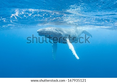 A young Humpback whale (Megaptera novaeangliae) swims at the surface of the Caribbean Sea, near where it was born. The calf will soon migrate north with its mother to feeding grounds off New England. - stock photo