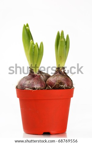 A young hyacinth - stock photo