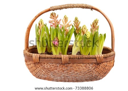 A young hyacinths - stock photo