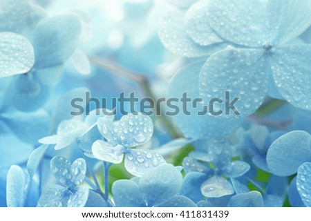 A young Hydrangea flower after a spring shower, inside a larger bloom and with light coming in between thee flowers. Extremely shallow depth of field for dreamy feel. - stock photo