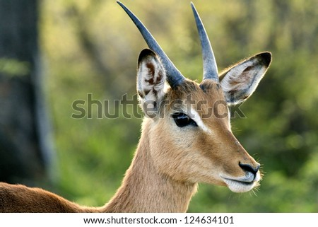 A Young Impala Antelope in it's natural environment. - stock photo
