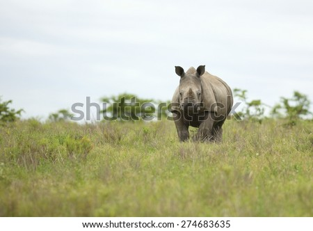 A young isolated young white rhino / rhinoceros in this image taken in South Africa - stock photo