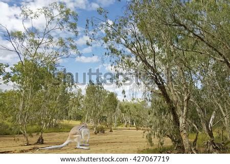 a young kangaroo in the Australian bush - stock photo