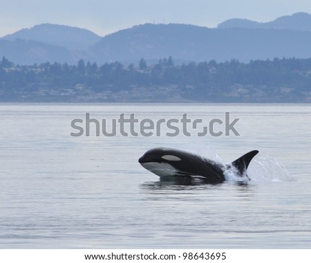 A young killer whale lunges out of the water.