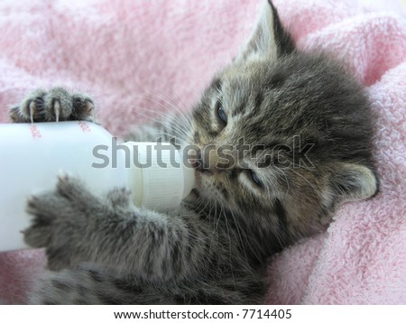 A young kitten nearly asleep while bottle feeding - stock photo