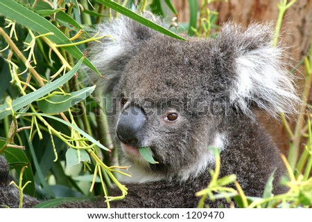 A young koala eating in a gum tree on Southern Australia's Kangaroo Island. - stock photo