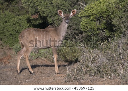 A Young Kudu stares at the camera