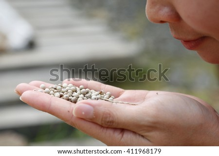 A young lady hold the fresh white peppercorns in hand