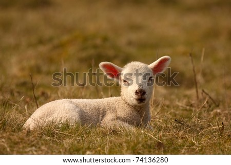 A young lamb sitting in a field - stock photo