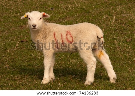 A young lamb standing in a grassy field in the English countryside - stock photo