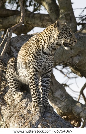 A young leopard sits in a tree in the Masai Mara. - stock photo