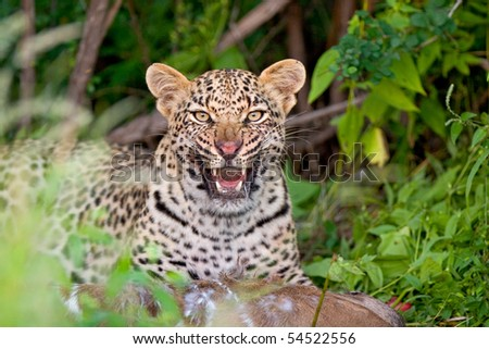 A young leopard snarling in defense of its kudu carcass - stock photo