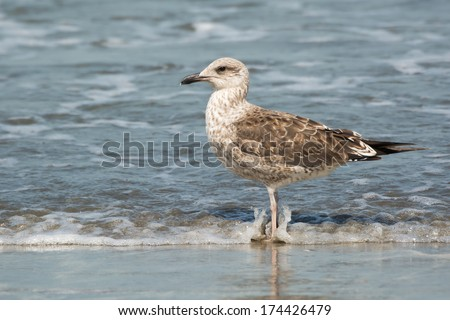 A Young Lesser Black-Backed Gull (Larus fuscus) standing in the surf - stock photo