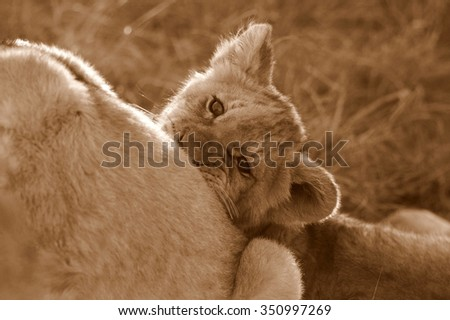 A young lion cub biting his mother while playing. Photo taken on safari in South Africa. - stock photo