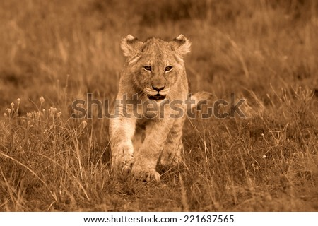 A young lion cub on the move - stock photo