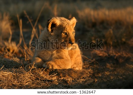 A young lion cub (Panthera leo)  lying down in early morning light, South Africa - stock photo