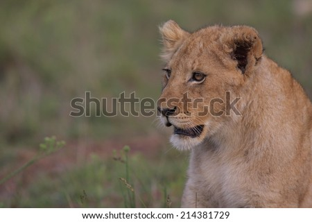 A young lion cub stares at her mother - stock photo