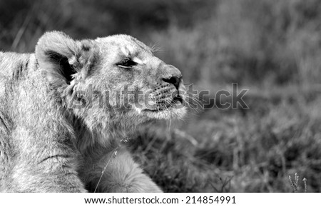A young lion cub streching in this photo. - stock photo