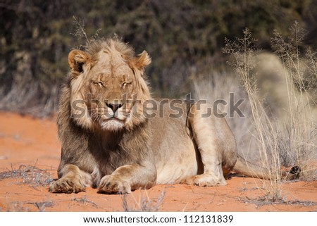 A young lion dozing in the wintry sunshine of the Kalahari