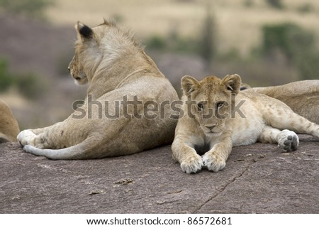 A young lion rests with his pride on top of some rocks in the Masai Mara. - stock photo