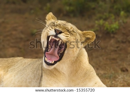 A young Lioness smiles for the camera - stock photo
