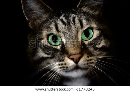 A young Maine Coon pet cat staring at something in the dark. - stock photo