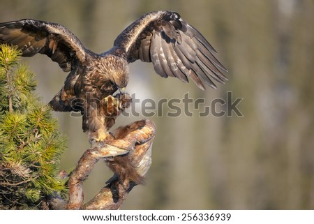 A young male Golden Eagle uses his wings to balance while he gets a firm hold of a Pine Marten and the branch of a tree. - stock photo