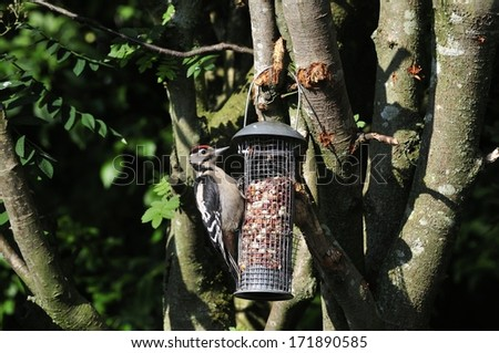 A young male Great Spotted Woodpecker on a peanut feeder. - stock photo