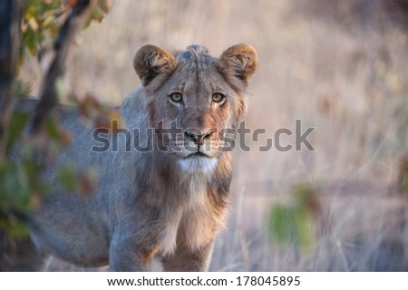 A young Male Lion appears and stares at the photographer - stock photo