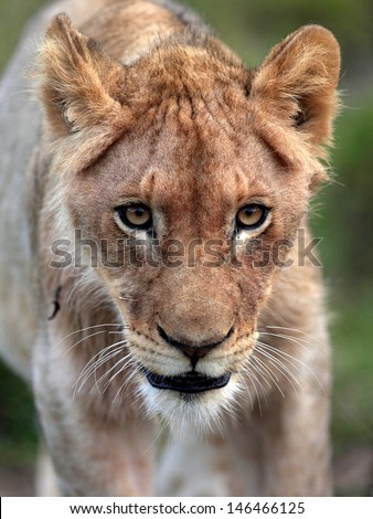 A young male lion cub walking towards the camera and showing off his beautiful eyes and face. Taken in South Africa. - stock photo
