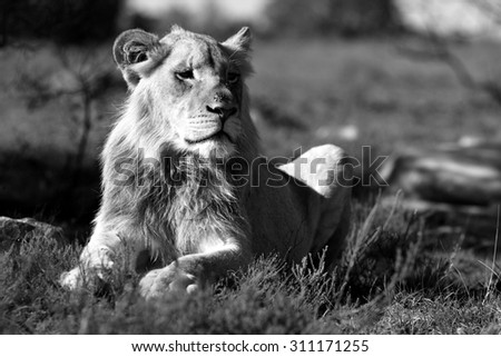 A young male lion portrait in Black and white. South Africa - stock photo