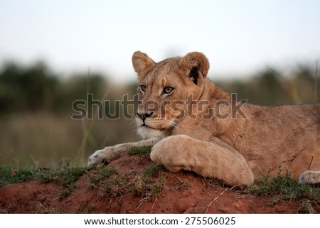 A young male lion rests on a termite mound. - stock photo