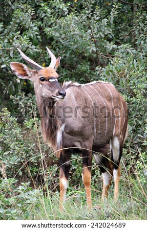 A young male Nyala buck emerges from the bush in a South African game reserve. - stock photo