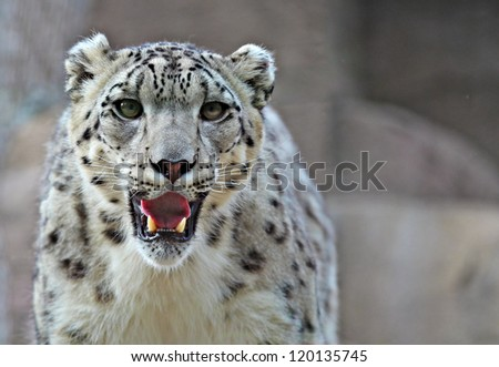 A young male snow leopard - stock photo