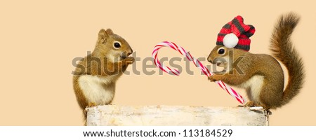 A young male squirrel wearing a winter hat offering a candy cane at Christmas time to a happy looking pretty little female while perched on a log in the winter, with copy space. Part of a  series. - stock photo