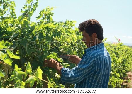 A young man harvesting grapes at noon - stock photo