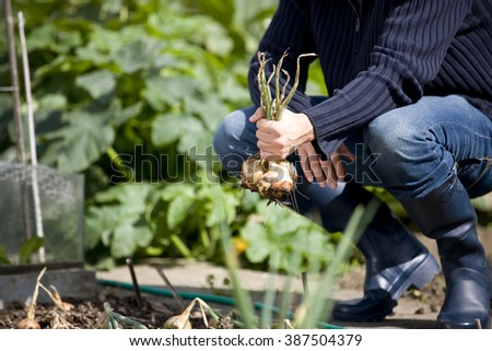 A young man pulling up onions on an allotment - stock photo