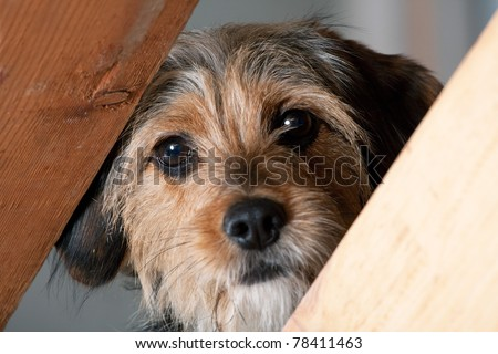 A young mixed breed pup looks through a space between two wooden boards.  Shallow depth of field. - stock photo